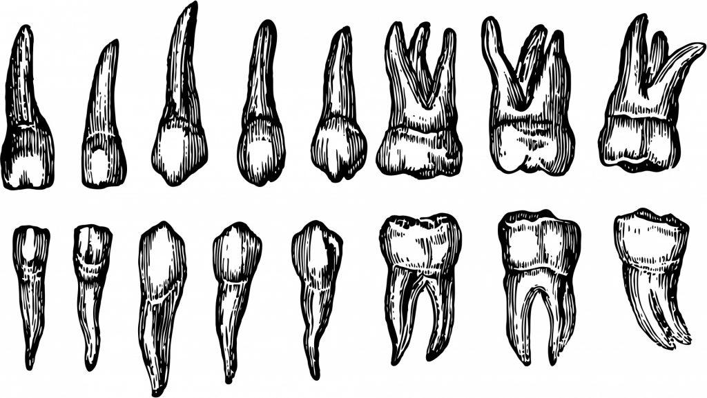 human-teeth-14434489915IH